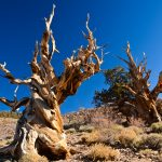 Bristlecone Pines - Inyo National Forest - Big Pine -California