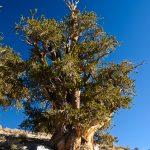 Great-Basin-Bristlecone-Pinus-longaeva-Ancient-Pristlecone-Pine-Forest-Inyo-National-Forest-Big-Pine-California-14 Bristlecone Pines [White Mountains]