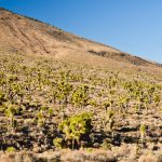 Joshua-Tree-Flats-Death-Valley-Nationalpark-California-7 Yucca [Death Valley National Park]