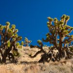 Joshua Tree Flats - Death Valley Nationalpark - California