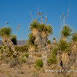 Yucca elata - Old Maverick Road - Big Bend Nationalpark - Texas