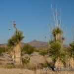Yucca-elata-Old-Maverick-Road-Big-Bend-Nationalpark-Texas-4 Yucca elata [Big Bend National Park]