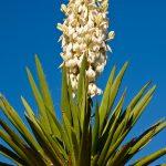 Dagger-Flat-Road-Dagger-Flat-Road-Big-Bend-National-Park-Texas-41 Yucca faxoniana [Big Bend National Park]