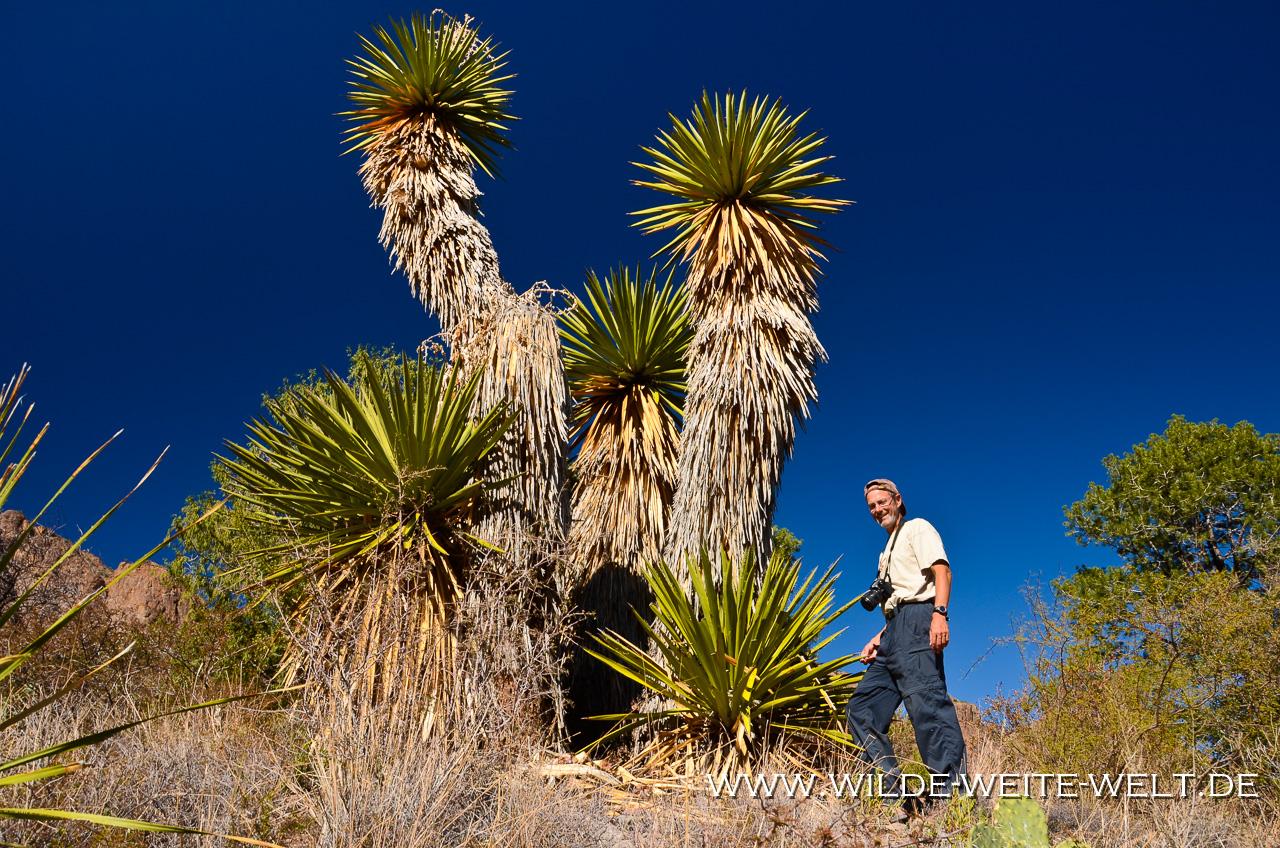 Yucca faxoniana - Pine Canyon - Big Bend Nationalpark -Texas