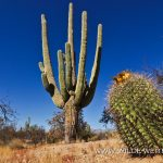 Saguaro - Rincon Mountains -Saguaro Nationalpark - Arizona