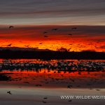 Sandhill-Cranes-at-Sunrise-Bosque-del-Apache-National-Wildlife-Refuge-Socorro-New-Mexico-68 Bosque del Apache National Wildlife Refuge: Kraniche & Schneegänse