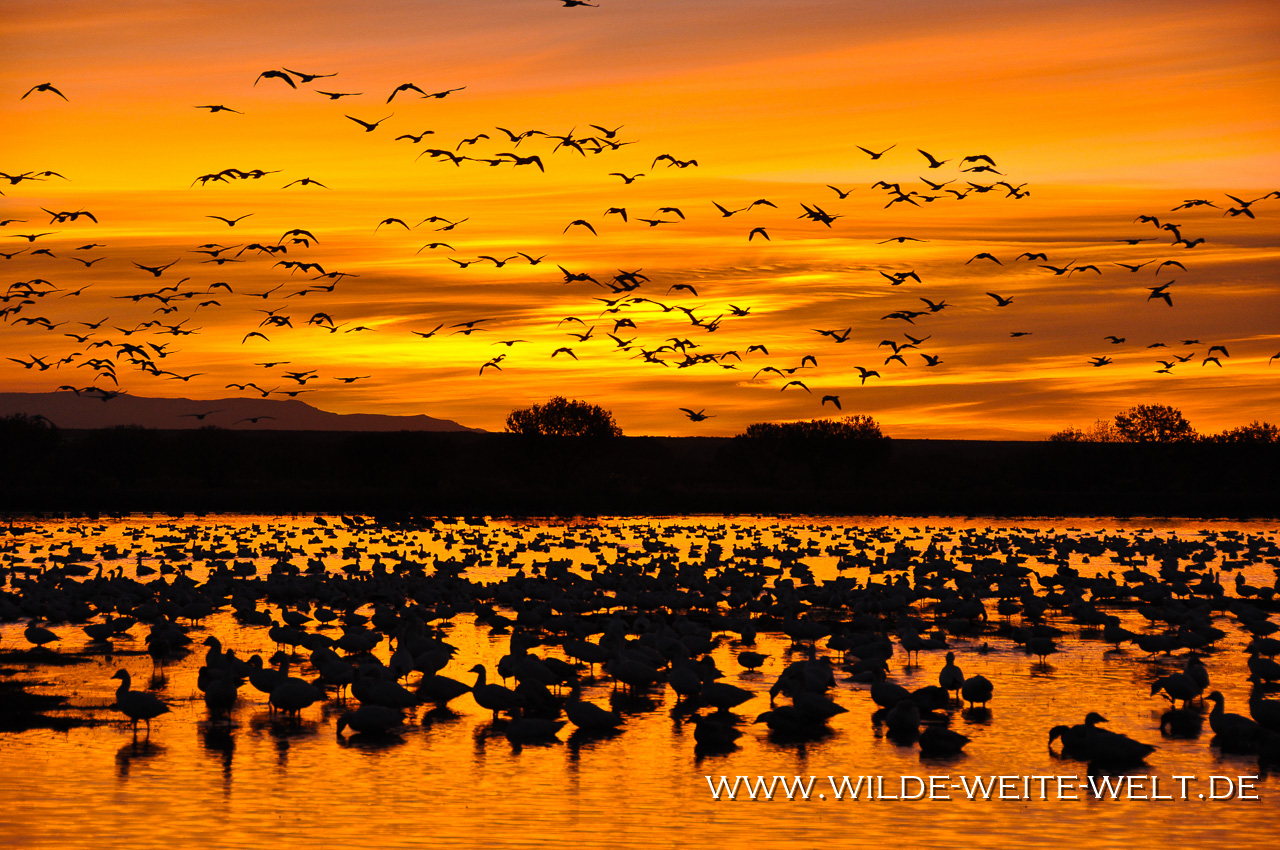 Snow Geese at Sunrise - Bosque del Apache National Wildlife