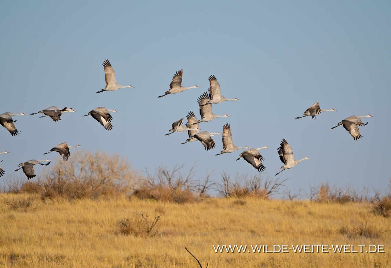 Sandhill-Cranes-Paul´s-Lake-Muleshoe-National-Wildlife-Refuge-Texas-20 Muleshoe National Wildlife Refuge: Kraniche