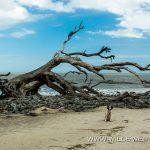 Driftwood-Beach-Jekyll-Island-Georgia-3 Jekyll Island [Georgia]