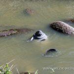 Sea-Turtle-Release-Canaveral-National-Seashore-Florida-9 Canaveral National Seashore und Merritt Island National Wildlife Refuge [Florida]