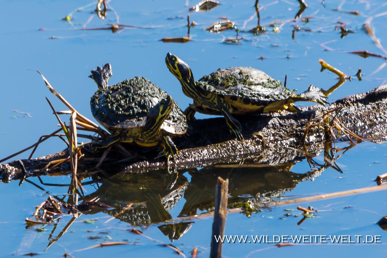 Turtles-Savannah-National-Wildlife-Refuge-South-Carolina-2 Savannah National Wildlife Refuge [South Carolina]