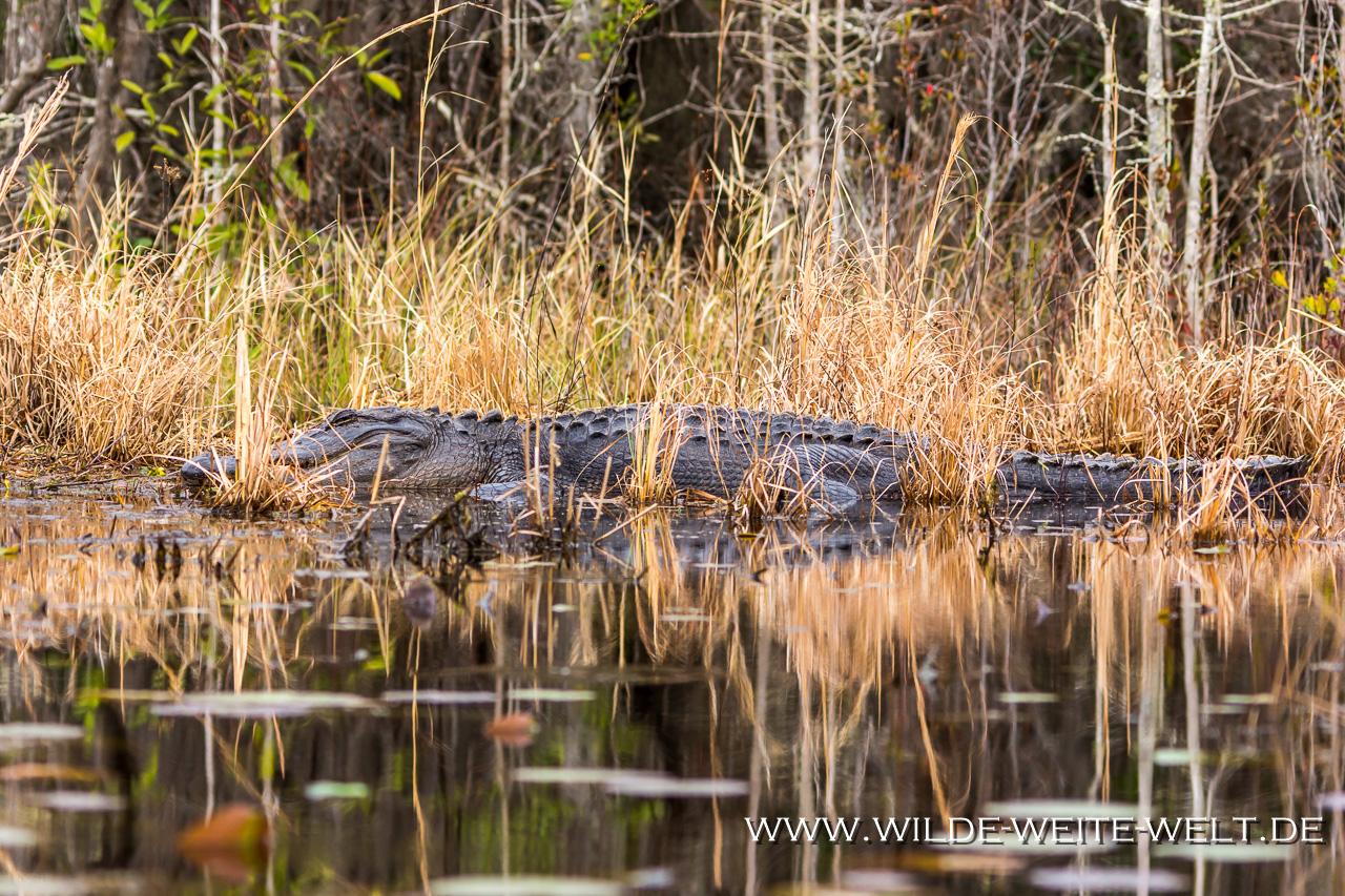 Alligator-Okefenokee-National-Wildlife-Refuge-Georgia-61 Alligators [Special]