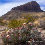 Opuntia-Cerro-Castellan-Big-Bend-National-Park-Texas-21 Ocotillos & Opuntia [Texas]