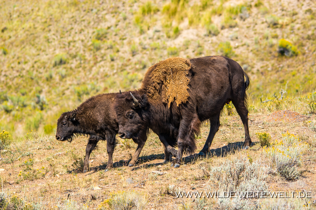 Bisons-Lamar-Valley-Yellowstone-National-Park-Wyoming-27 Yellowstone National Park: Wildlife / Bison, Pronghorn, Wapiti [Wyoming]