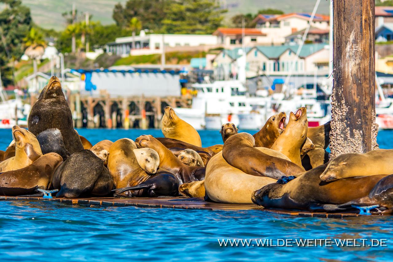 Sea-Lions-Harford-Pier-Avila-Beach-California-18 Seelöwen/ Sea Lions [Morro Bay / Avila Beach, California]