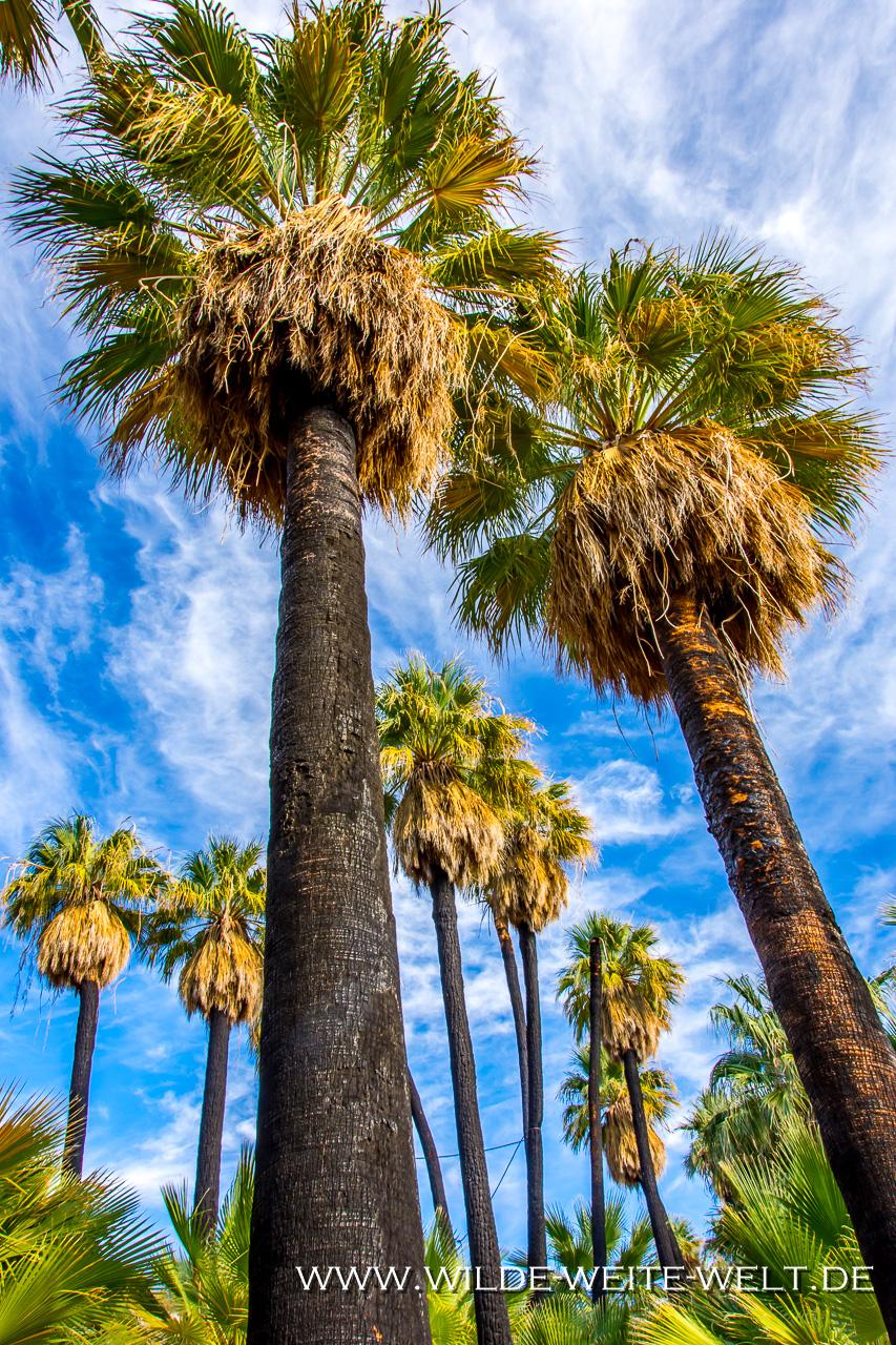 Willis-Palm-Oasis-Coachella-Valley-Preserve-Palm-Springs-California-18 Palm Groves im Coachella Valley: Palmen-Oasen aus Washingtonia filifera [California]