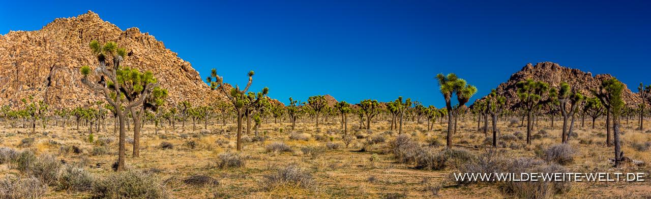 Joshua-Tree-Keys-View-Road-Joshua-Tree-National-Park-California-14 Joshua Trees: Yucca brevifolia so groß wie Bäume [California]
