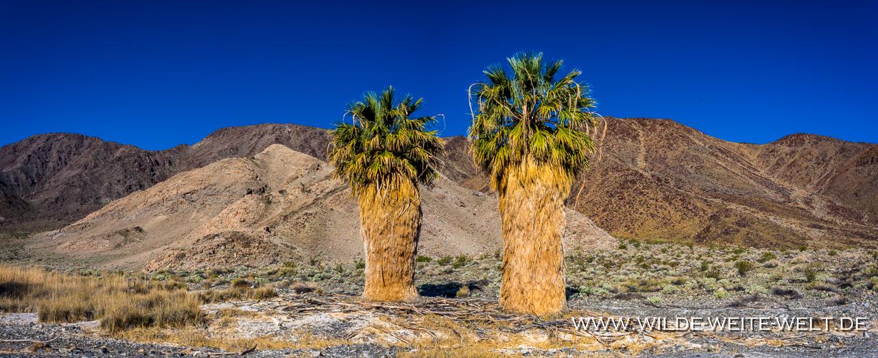 Washingtonia-an-der-Soda-Spring-Zzyzx-Road-Mojave-National-Preserve-California-11 Zzyzx Road: Washingtonia / Petticoatpalmen, Soda Spring & Soda Lake [California]