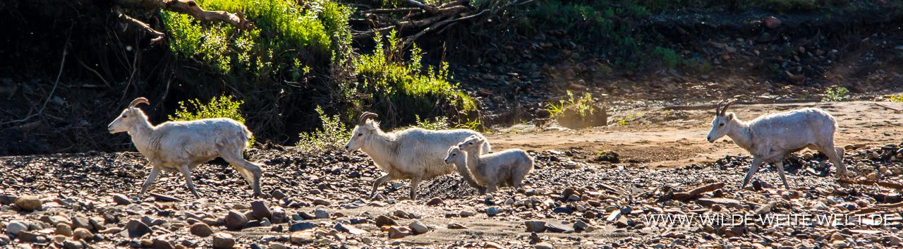 Dall-Sheep-Engineer-Creek-Ogilvie-Mountains-Dempster-HIghway-Yukon-48 Dempster Highway nach Tuktoyaktuk: Tiere / Wildlife [Dempster]