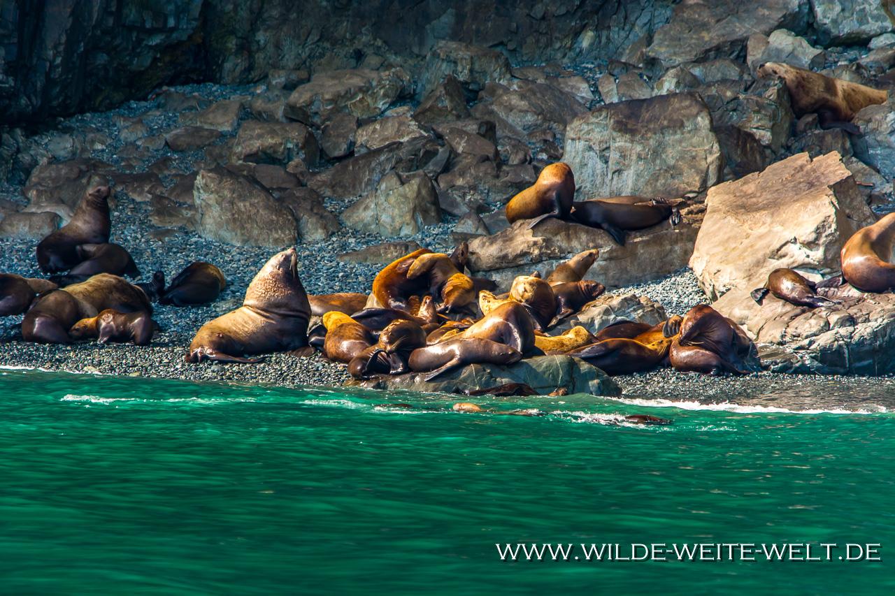 Steller´s-Sea-Lion-Solomon-Gulch-Fish-Hatchery-Valdez-Alaska-24 Stellers Sea Lions - Stellers Seelöwen [Prince William Sound, Valdez]