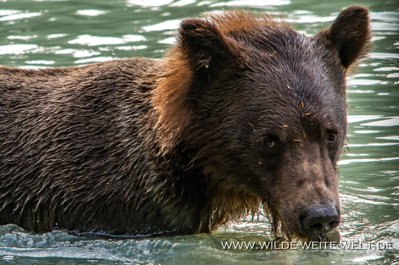 Grizzly-Baer-10-Chilkoot-Lake-Recreation-Area-Haines-Alaska-73 Brown Bears / Grizzlies am Chilkoot River [Haines]