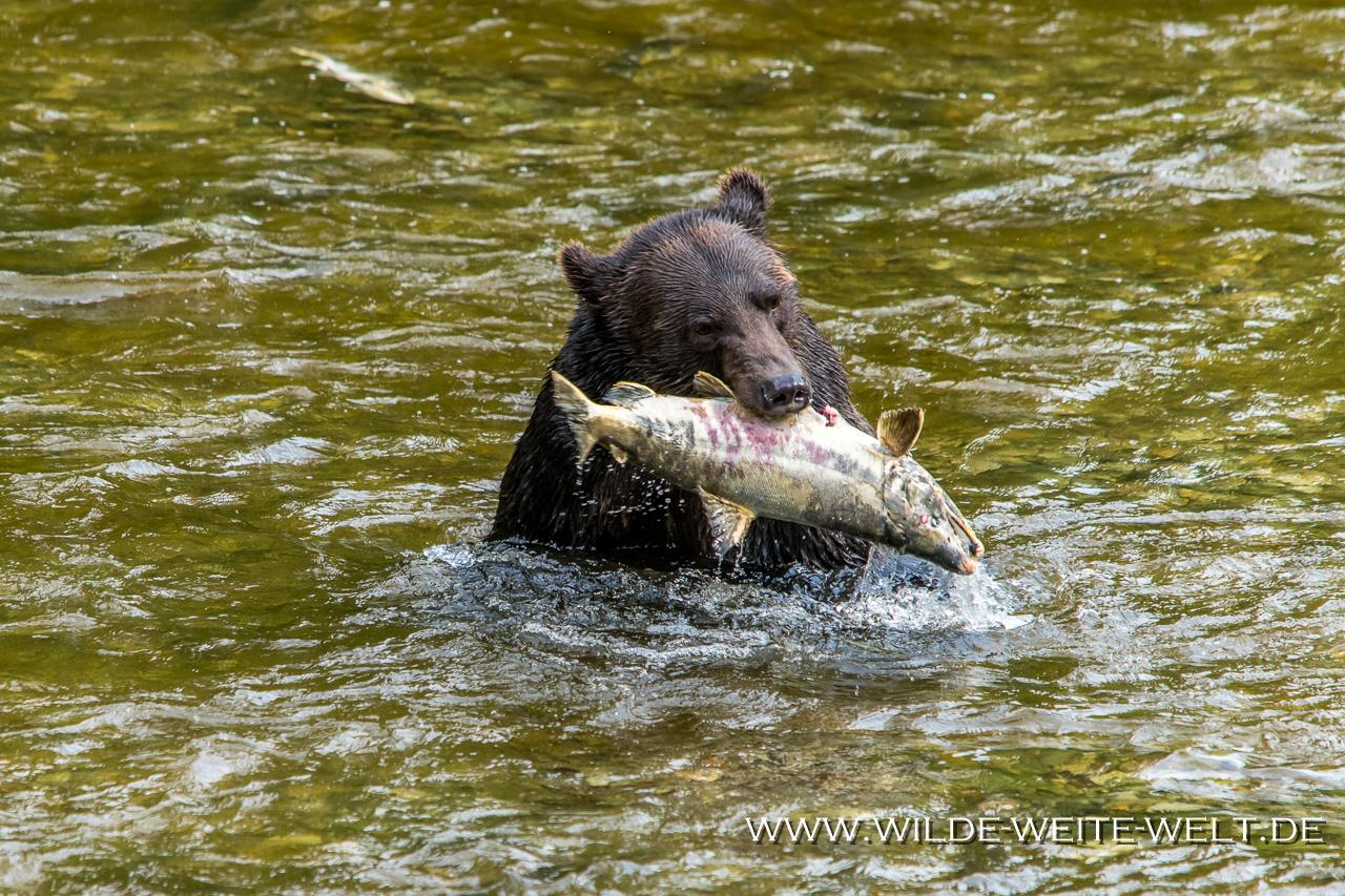 Grizzly-Bear-13-Fish-Creek-Hyder-Alaska-29 Brown Bears / Grizzlies an der Fish Creek Observation Site [Hyder]