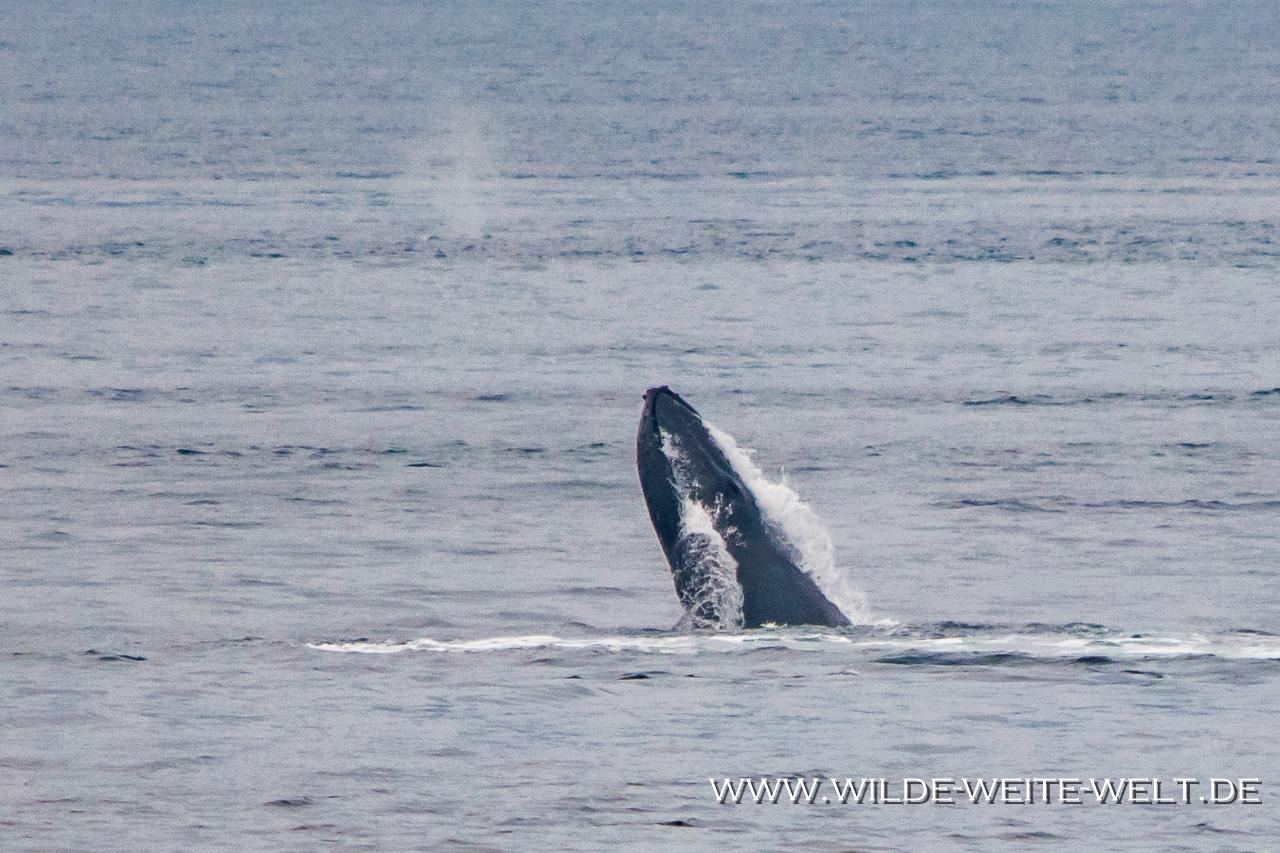 Humpback-Whale-Frederick-Sound-Inside-Passage-Kake-Alaska-9 Buckelwale - Humback Whales [Inside Passage]