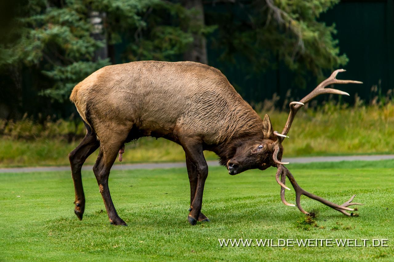 Wapiti-Golf-Course-Loop-Banff-Banff-National-Park-Alberta-35 Wapitis / Elk zur Brunftzeit in Banff [Alberta]