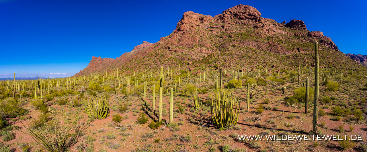 Organ-Pipe-Cactus-und-Saguaro-Alamo-Canyon-Organ-Pipe-Cactus-National-Monument-Arizona-4 Organ Pipe National Monument: Saguaros & Organ Pipe Cacti
