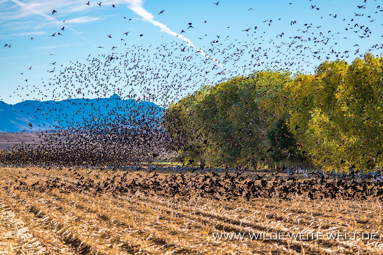 Black-Birds-Cibolla-National-Wildlife-Refuge-Arizona-8 Vogelschwärme: Blackbirds [Arizona]
