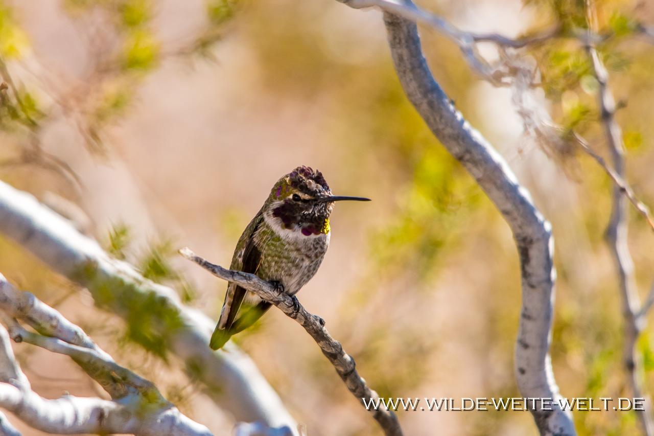 Humingbird-Cibolla-National-Wildlife-Refuge-Arizona-23 Kolibris - Hummingbirds in den Überwinterungsgebieten der südlichen USA [Arizona]