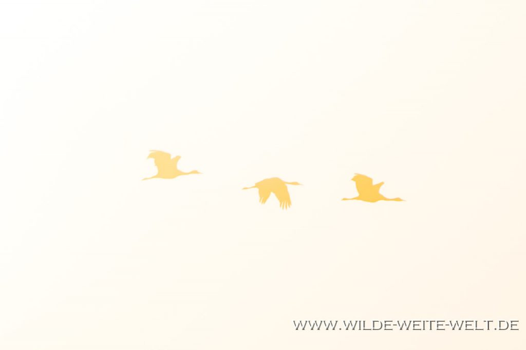 Sandhill-Cranes-Whitewater-Draw-Wildlife-Area-Elfrida-Arizona-178-1024x430 Sandhill Cranes - Kanada-Kraniche in den Überwinterungsgebieten der USA [Arizona/New Mexico]