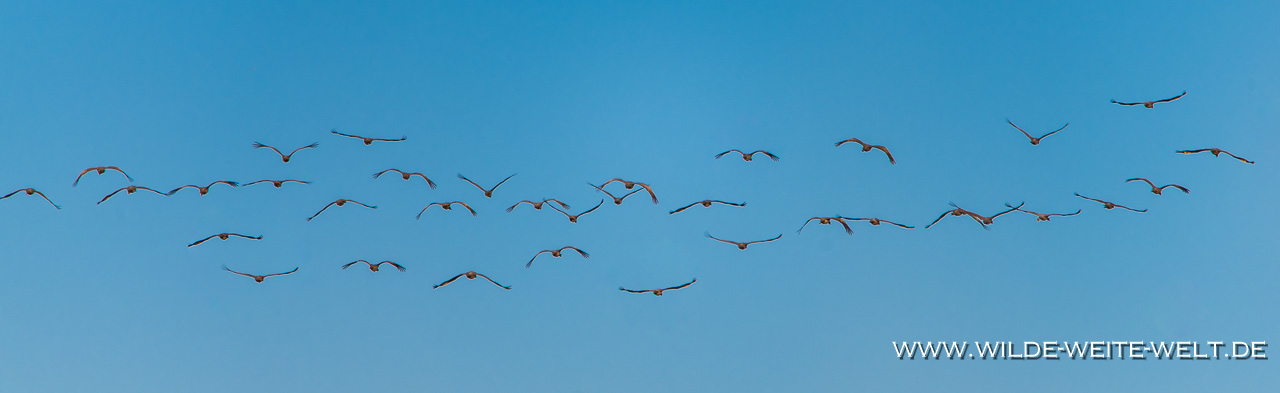 Sandhill-Cranes-Whitewater-Draw-Wildlife-Area-Elfrida-Arizona-84 Whitewater Draw Wildlife Area: Sandhill Cranes