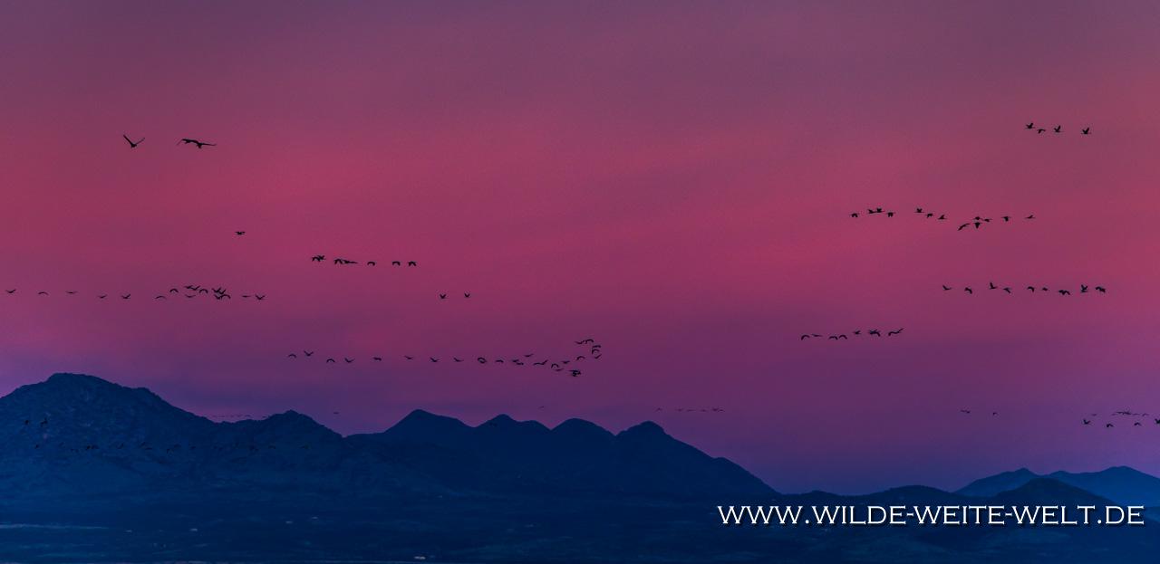 Sandhill-Cranes-at-Sunset-Whitewater-Draw-Wildlife-Area-Elfrida-Arizona-44 Merry Christmas & Happy New Year 2019