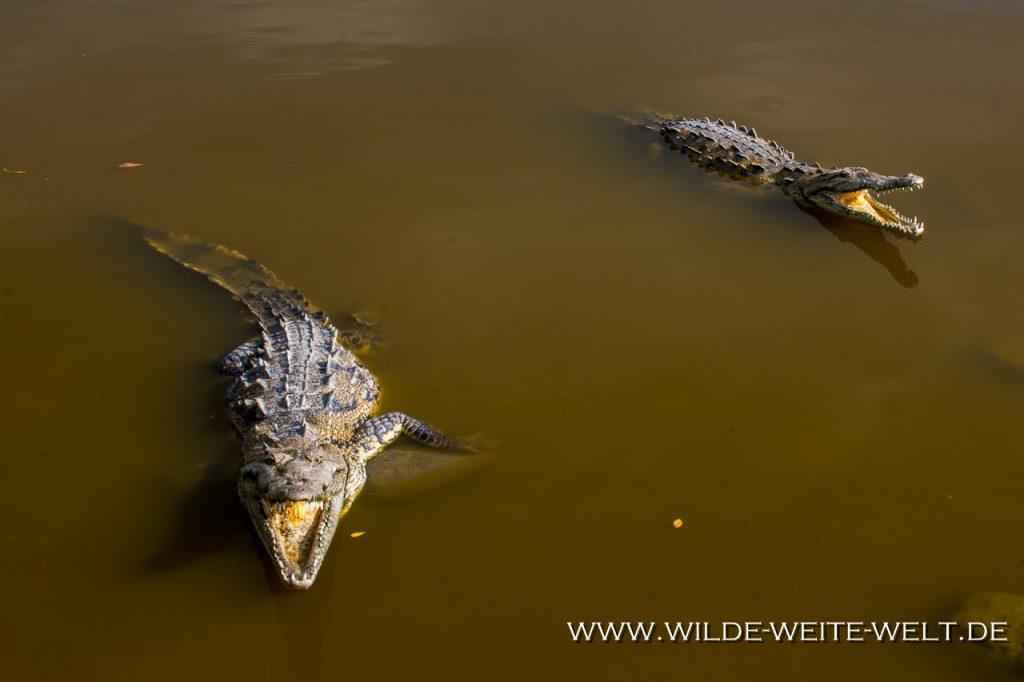 Crocodile-San-Blas-Nayarit-9-1024x682 Spitz-Krokodile in Mexiko [divers]