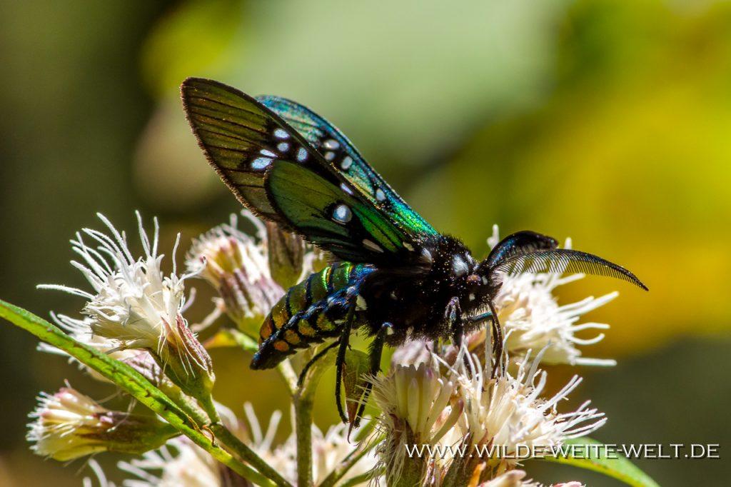 Monarch-Butterflies-Mariposa-Monarcha-Sierra-Chingua-Michoacan-62-1024x682 Monarchfalter - Monarch Butterflies im Reserva Biosfera Mariposa Monarca [Michoacan]