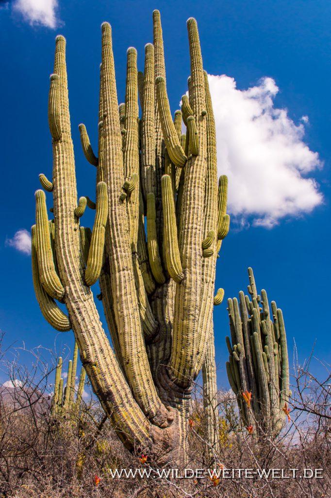 Jardin-Botanico-Helia-Bravo-Hollis-Reserva-de-la-Biosfera-Tehuacan-Cuicatlan-Zapotitlan-Puebla-93-1024x682 Jardin Botanico Helia Bravo Hollis: Neobuxbaumia tetetzo & Pachycereus weberi [Mexico, Oaxaca]