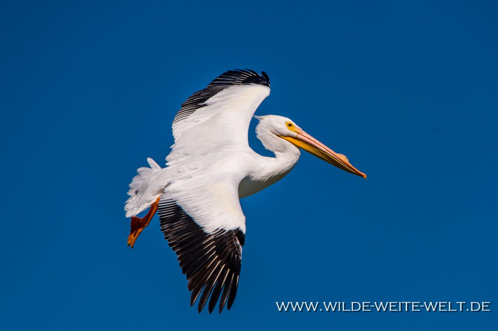 White-Pelican-Laguna-Chapala-Mismaloya-Jalisco-144-1024x682 Nashorn-Pelikane - White Pelicans - Pelicanos an Laguna / Lago Chapala [Michoacan]