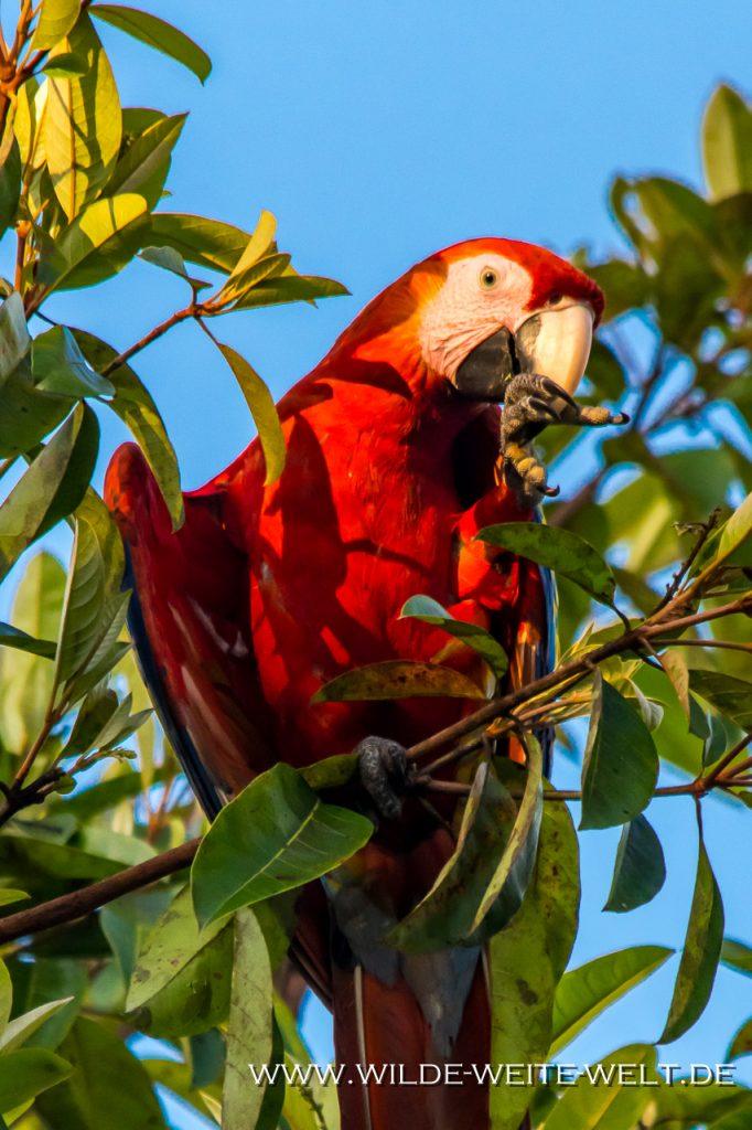 Guacamaya-Roja-Reforma-Agraria-Chiapas-20-1024x682 Rote Aras - Red Macaw - Guacamayas Rojas [Chiapas]
