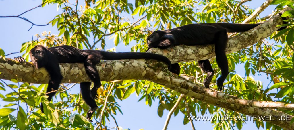 Howler-Monkeys-Reforma-Agraria-Chiapas-5-1024x682 Brüll-Affen - Howler Monkeys [Chiapas]