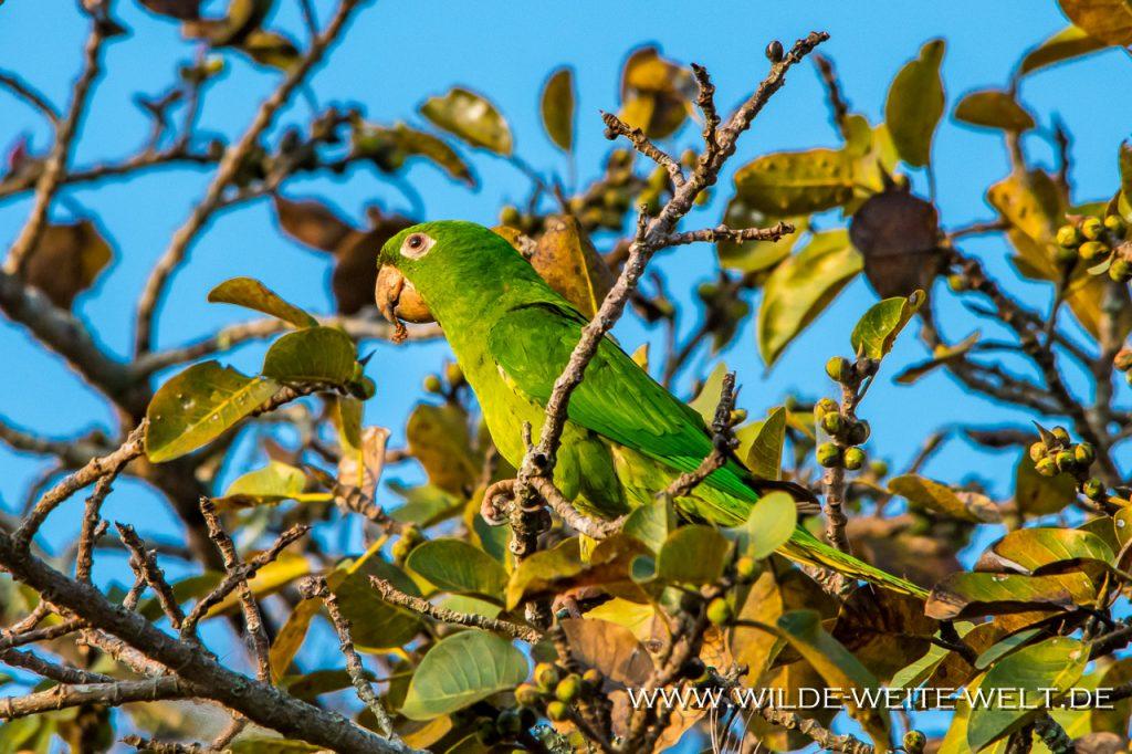 Mönchssittiche-Sima-de-la-Cotorras-Reserva-de-la-Biosfera-Selva-el-Ocote-Ocozocoautla-Chiapas-86-1024x682 Grüne Sittiche - Cotorras - Parakeets in der Cima/Sima de las Cotorras [Chiapas]