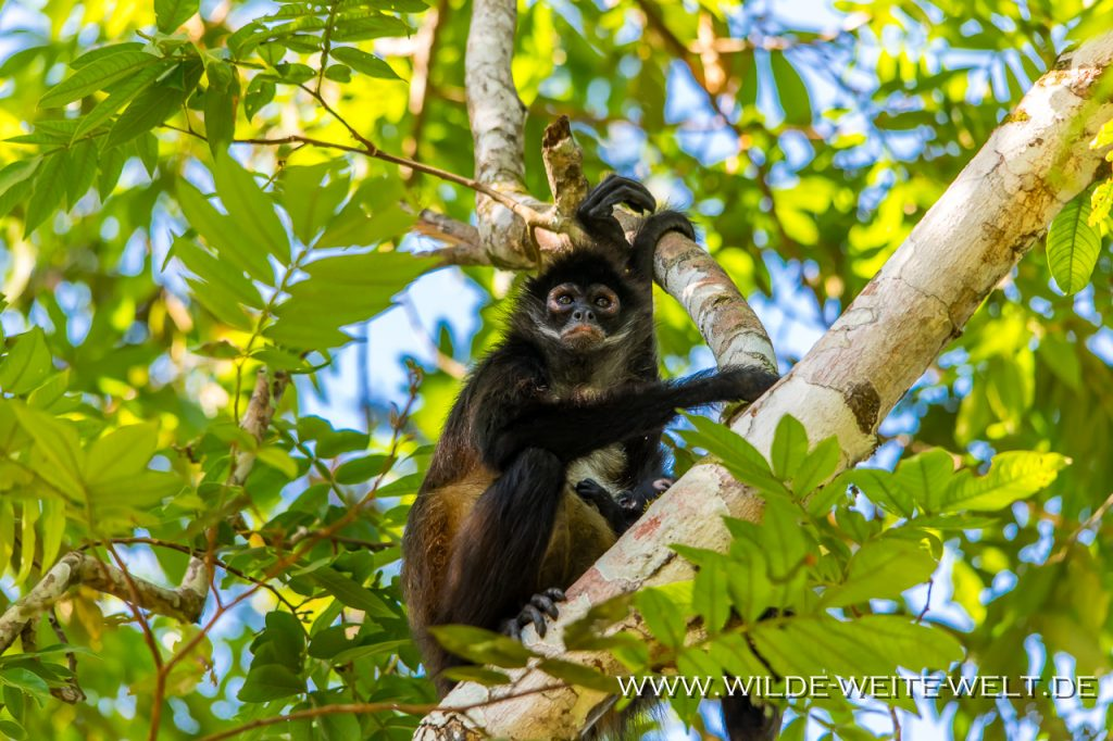 Spider-Monkeys-Reforma-Agraria-Chiapas-11-682x1024 Spinnen-Affen - Spider Monkeys [Chiapas]