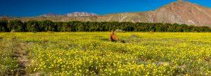 Desert-Dandelion-mit-Tanja-Di-Giorgio-Road-Anza-Borrego-State-Park-California-300x108 Desert Dandelion mit Tanja