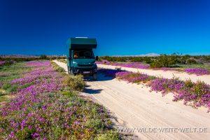 Desert-Flower-Los-Puentes-Mex-5-Baja-California-Nord-300x200 Desert Flower