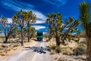 Joshua-Tree-Cima-Road-Mojave-National-Preserve-California-300x200 Joshua Tree