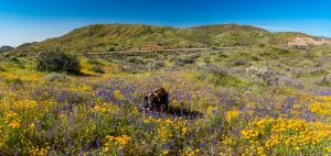 Photographing-Wildflowers-Bartlett-Lake-Tonto-National-Forest-Arizona-300x142 Photographing Wildflowers