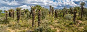 Aloe-ferox-Great-Fish-River-Nature-Reserve-Suedafrika-7-300x111 Aloe ferox