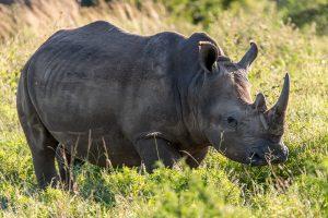 Breitmaulnashorn-Hluhluwe-iMfolozi-National-Park-KwaZulu-Natal-Suedafrika-103-300x200 Breitmaulnashorn