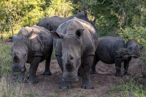 Breitmaulnashorn-Hluhluwe-iMfolozi-National-Park-KwaZulu-Natal-Suedafrika-135-300x200 Breitmaulnashorn