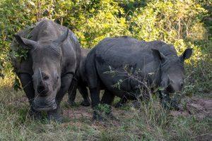 Breitmaulnashorn-Hluhluwe-iMfolozi-National-Park-KwaZulu-Natal-Suedafrika-140-300x200 Breitmaulnashorn